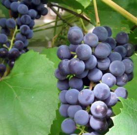 Чем отстирать пятна винограда на одежде: несколько несложных способов